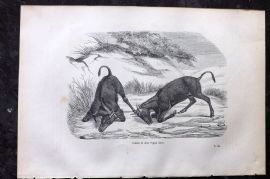 Chenu 1877 Antique Print. Male Nylghau Antelopes in Combat